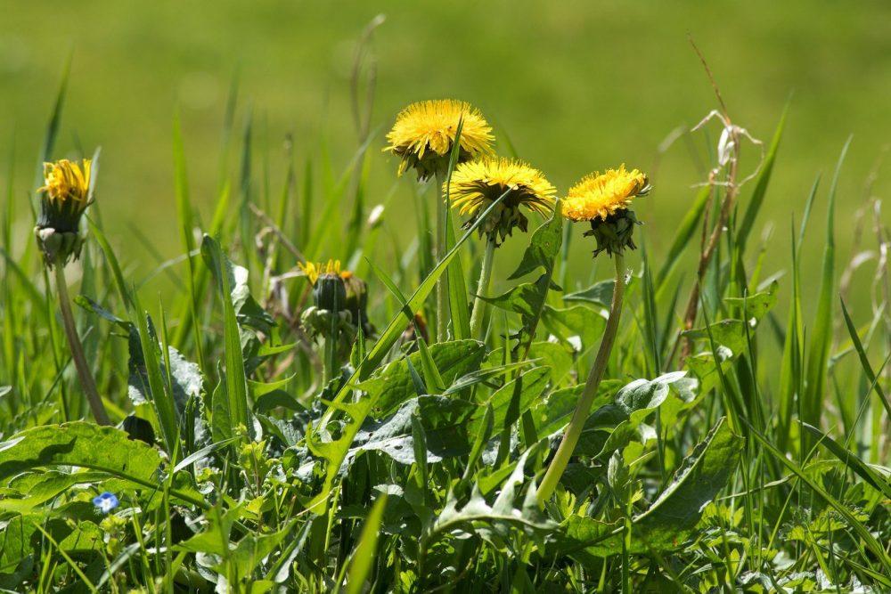 Dandelion Weed in Yard