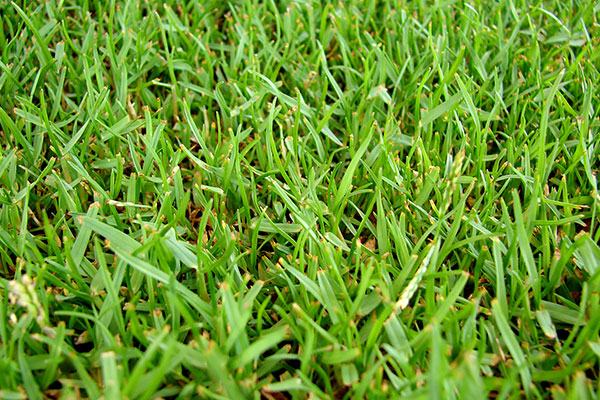 4 Types Of Grasses Well Suited To Wichita Lawns Reddi Lawn